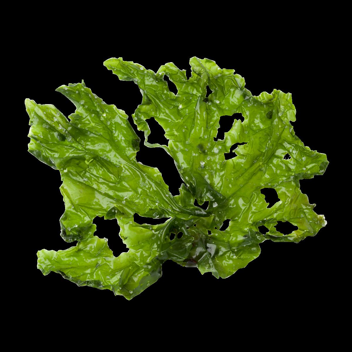 Seaweed Left Powder